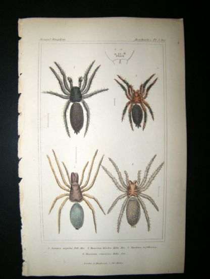 Cuvier C1835 Antique Hand Col Print. Spiders #3 | Albion Prints
